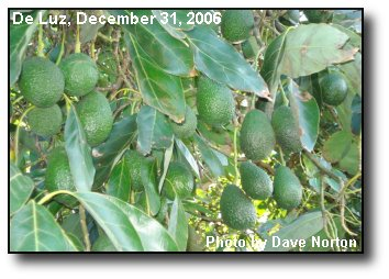 Avocado Crop