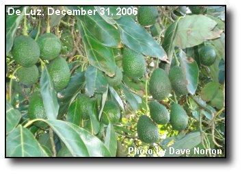 Avocado Crop