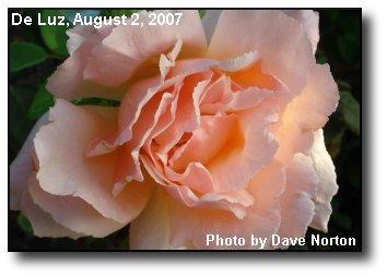 Bloomin Rose