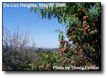 Spring Peaches