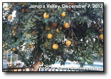 Backyard Oranges