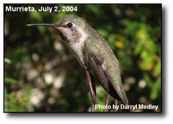 Resting Hummingbird