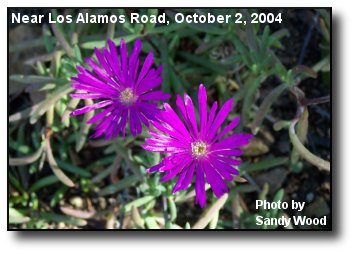 Blooming Iceplant
