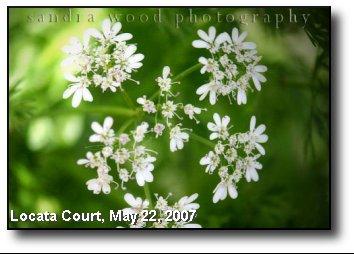 Cilantro Blossom