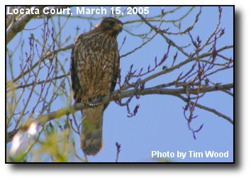 Murrieta Hawk