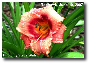 Daylily Bloom