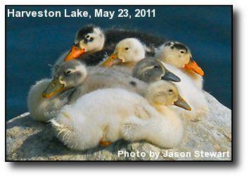 Harveston Ducklings