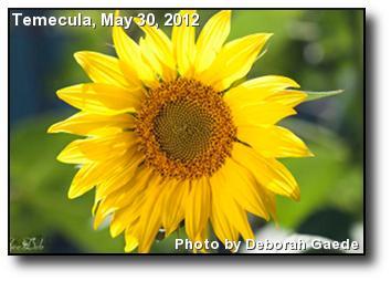 Spring Sunflower
